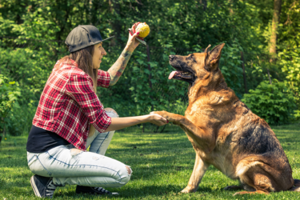 Dog trainer with a ball getting a shepherd's attention