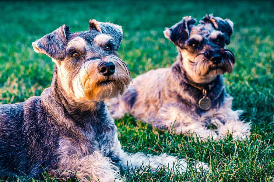 Two schnauzers who would appreciate if you were a faster dog groomer