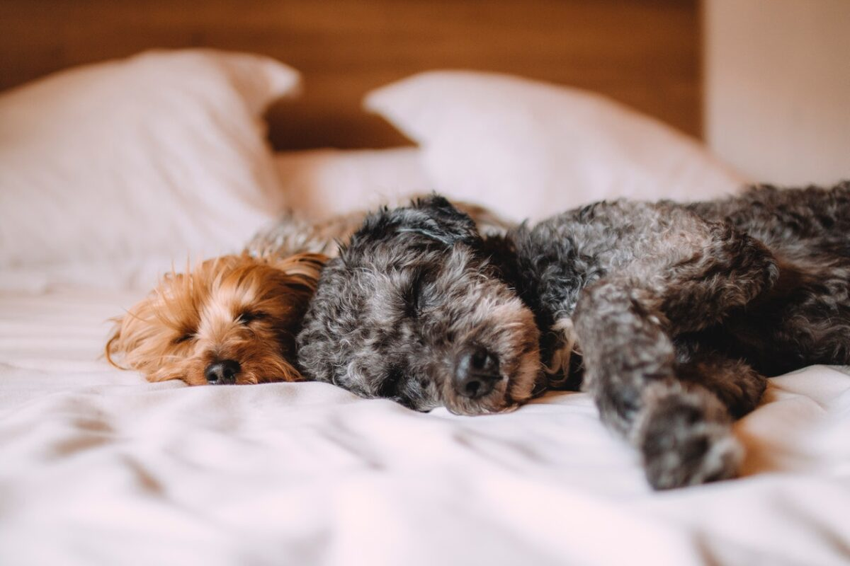 Cute dogs lay on a bed